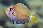 Acanthurus tractus, Ocean surgeonfish, juvenile, Roatan
