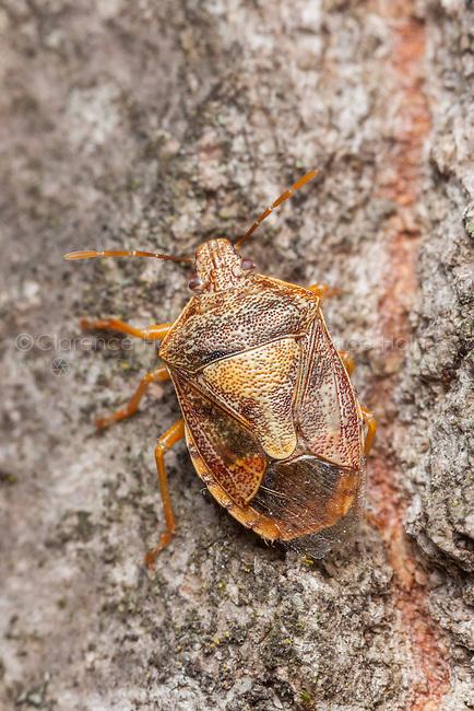 A Stink Bug (Podisus placidus) crawls up the side of a tree.