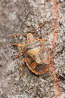 A Stink Bug (Podisus placidus) crawls up the side of a tree.