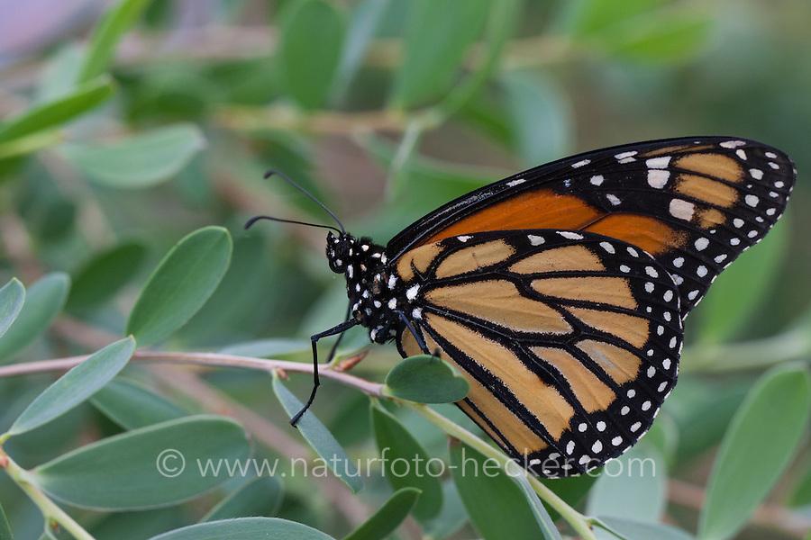 Monarchfalter, Monarch-Falter, Amerikanischer Monarch, Monarch, Danaus plexippus, Monarch butterfly, Wanderfalter, wanderer, milkweed butterfly