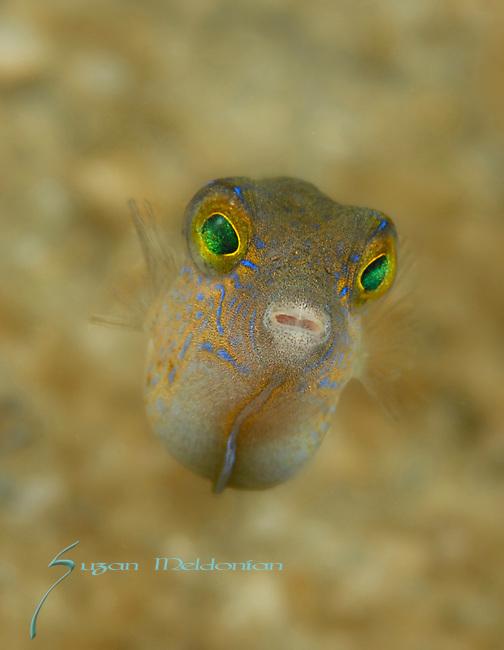 Juvenile Sharpnose Puffer, Canthigaster rostrata , super macro close up, Underwater Marine life Behavior, Blue Heron Bridge, Lake Worth Inlet, Riviera, Florida, USA, Intra Coastal Waterway, North Atlantic Ocean.9-9-12-233_10x