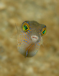 Juvenile Sharpnose Puffer, Canthigaster rostrata , super macro close up, Underwater Marine life Behavior, Blue Heron Bridge, Lake Worth Inlet, Riviera, Florida, USA, Intra Coastal Waterway, North Atlantic Ocean.9-9-12-233_10x