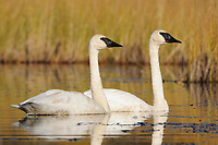 Pair of adult Trumpeter Swans (Cygnus buccinator) on a nesting lake. Central Alaska. September.
