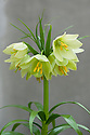 Fritillaria raddeana, glasshouse, early March.