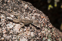 An unidentified lizard has darted from the relative safety of a crevice that was too close to a passing would-be predator and stops to assess which way to go next might be safest.