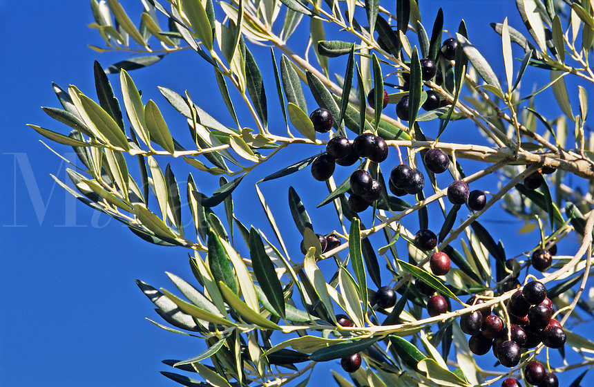 Olive branch with ripe fruit.  France.