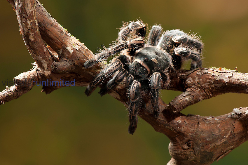 Tropical dry forest Tarantula, Costa Rica