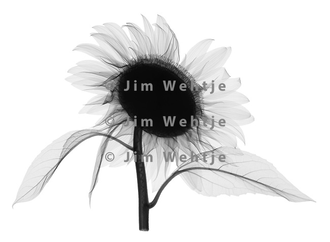X-ray image of a sunflower top (side view, black on white) by Jim Wehtje, specialist in x-ray art and design images.