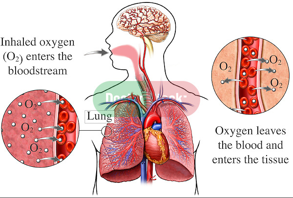 Lungs - Respiration and Oxygen Exchange. This medical exhibit illustrates the physiology of respiration. It includes an orientation figure with a complete respiratory system and brain. There a two insets giving a magnified view to the exchange of oxygen and carbon monoxide molecules within the lung tissue.