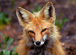 The Eyes Have It<br /> This beautiful red fox really wanted her portrait taken! I could sense her amazing energy as I took a number of shots and she remained perfectly still. <br /> Coal Creek Canyon, Colorado