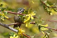 Hummingbird - Calliope