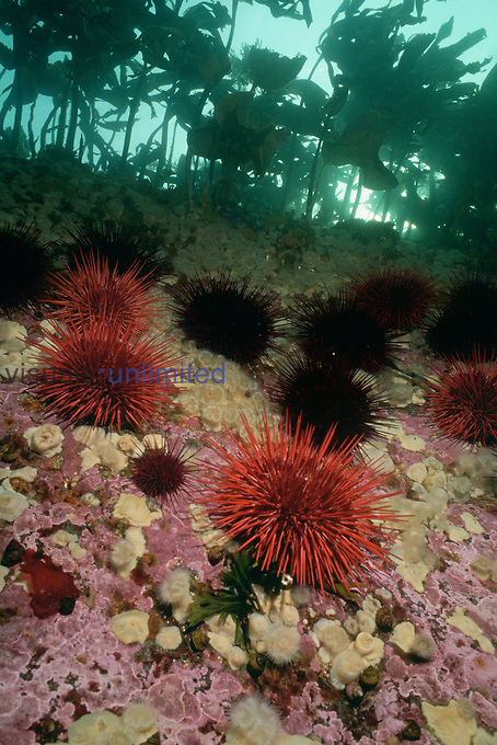 Red Sea Urchins and White-Plume Anemones on a reef wall in a Kelp forest, Queen Charlotte Island, British Columbia, Canada.