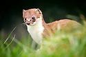 Stoat {Mustela erminea}, peering through long grass, captive, UK