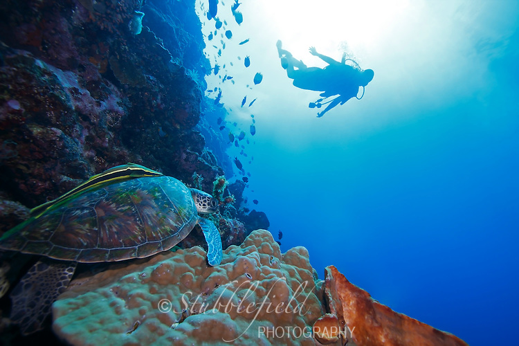 Green Sea Turtle (Chelonia mydas) and scuba diver in background, on a coral sea wall off Bunaken Island, North Sulawesi, Indonesia