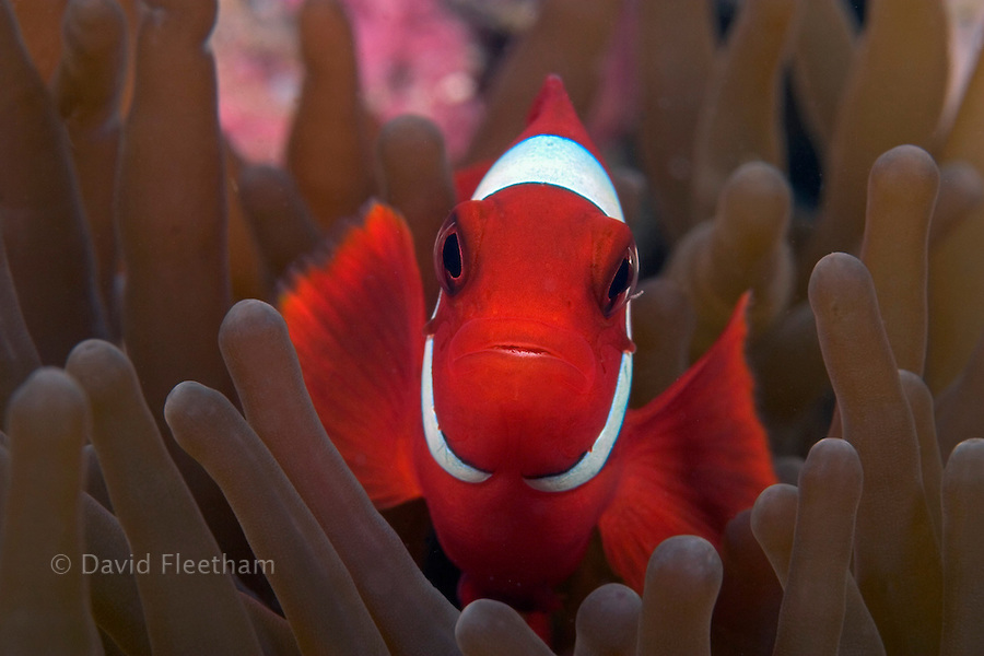 The spine-cheek anemonefish, Premnas biaculeatus, is found only in association with the sea anemone, Entacmaea quadricolor, and can be identified by the large spine that crosses the white cheek band.  This individual pictured is a male.  Mabul Island, Malaysia.