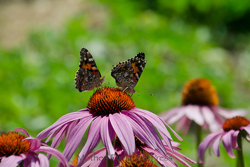 Two Painted lady butterflies on a pink coneflower, Maine, USA