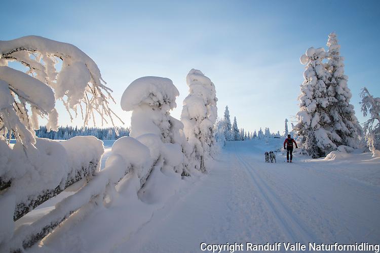 Skiløper med hunder i snødekt vinterskog. ---- Skier with dogs in snow clad forest.