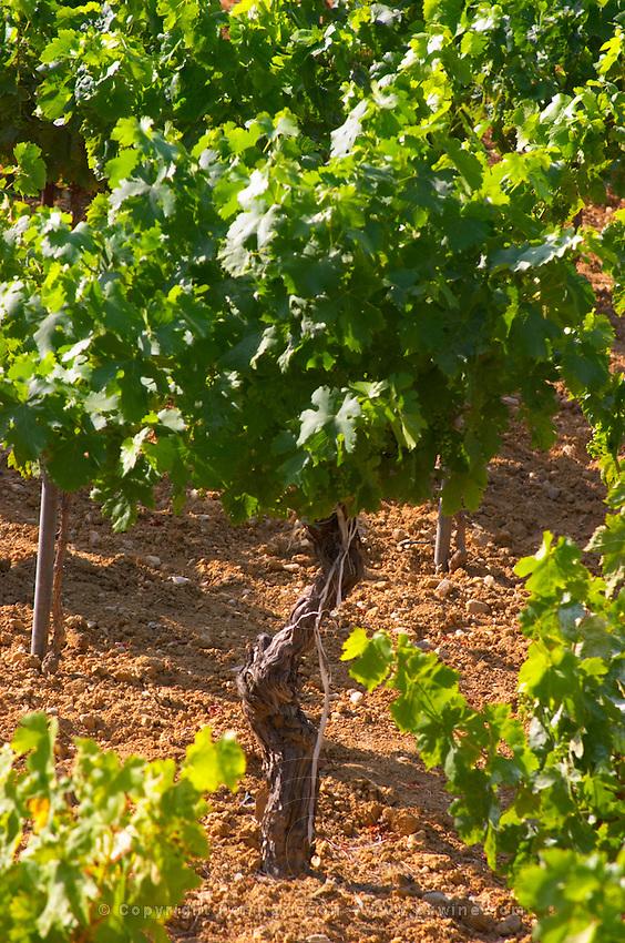 St Pargoire. Languedoc. Vine leaves. Old, gnarled and twisting vine. France. Europe. Vineyard.