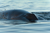 Fin whale (balaenoptera physalus) The head of a fin whale and barnacles attached.Gulf of California., Baja California, Mexico, Pacific Ocean