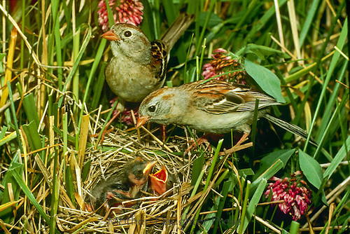 Field sparrow (Spizella pusilla) parents with two hungry babies in nest among grass and clover, Midwest USA