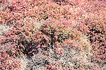 Close up of pink red prostrate succulent plant Mesembryanthemum nodiflorum, La Isleta, Lanzarote, Canary islands, Spain