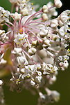 Redstem Ceanothus (Ceanothus Sanguineus), Coast mountain range, Oregon