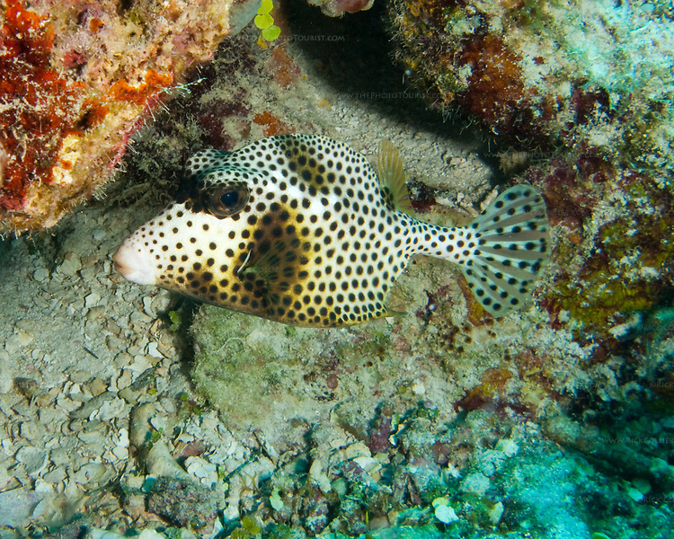 "Spotted Trunkfish at the ""Amber Head"" dive site, Turneffe Atoll, Belize."
