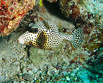 """Spotted Trunkfish at the """"Amber Head"""" dive site, Turneffe Atoll, Belize."""