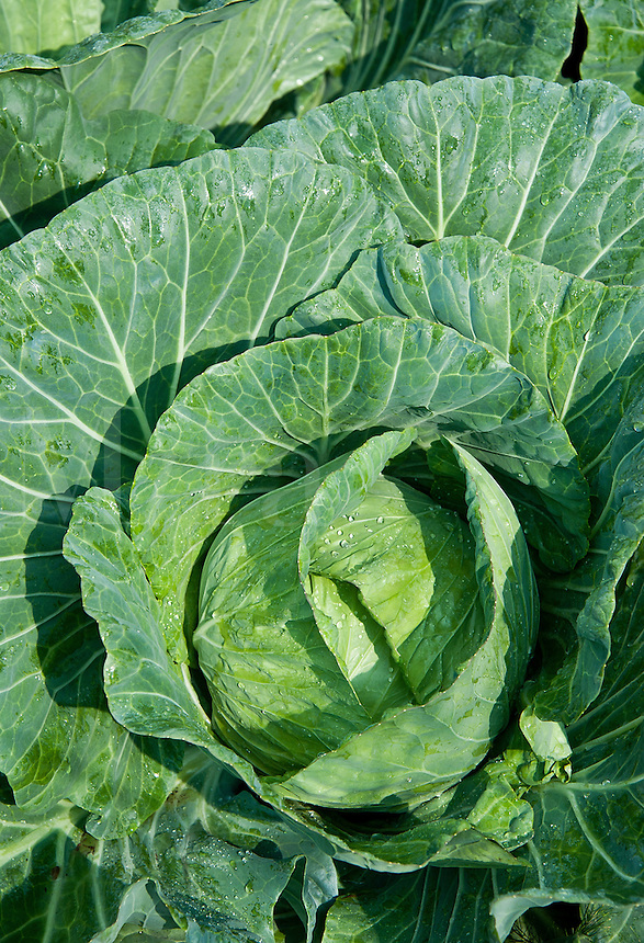 Cabbage grwing in a vegetable garden.