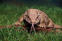 SAVANNAH MONITOR LIZARD..Native to Central to Southern Africa..(Varanus exanthematicus).