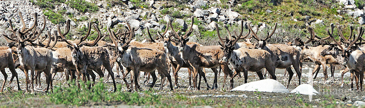 A herd of caribou checks out intruders along the Hulahula River, which  runs through Alaska's Brooks Range and the Coastal Plain in the Arctic National Wildlife Refuge.