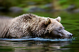 USA, Alaska, Close-up of a grizzly bear swimming in Wolverine Cove, Redoubt Bay