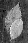 American Elm leaves, autumn