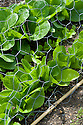 Lettuce 'Little Gem', mid June. Wire netting protects the plants against birds.