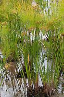 Echter Papyrus, Papyrusstaude, Zyperngras, Papier, Cyperus papyrus, papyrus sedge, paper reed, Indian matting plant, Nile grass, Egyptian Paper Plant