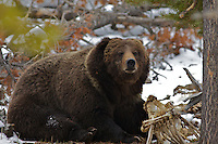 Yellowstone Grizzly Bear, the Preacher. The Preacher is estimated to be over seven hundred pounds which is very large for a Yellowstone Grizzly Bear