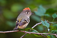 Male Ruby-crowned Kinglet.Regulus calendula