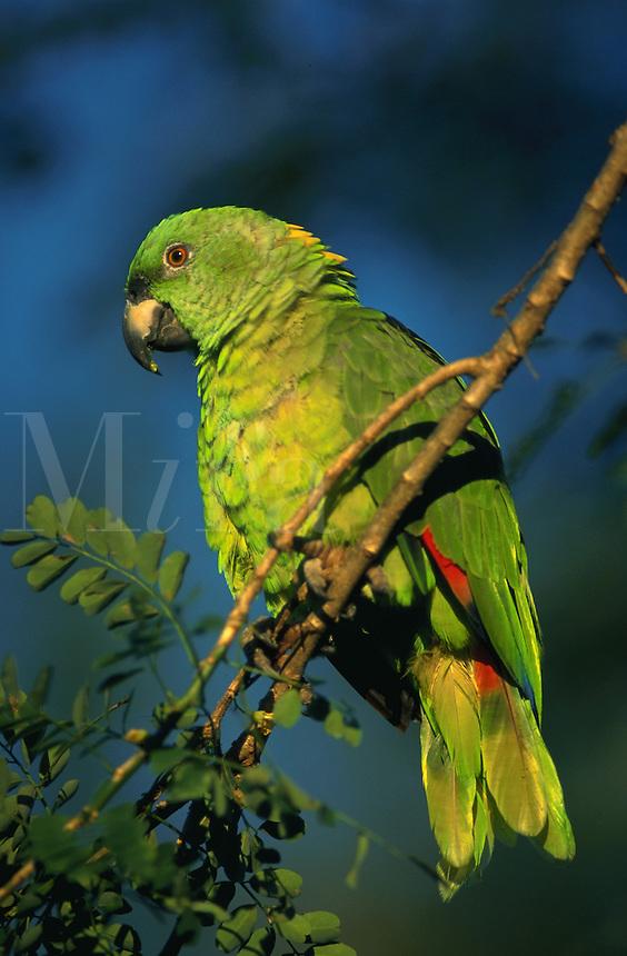 A Yello Naped Amazon Parrot. Costa Rica.