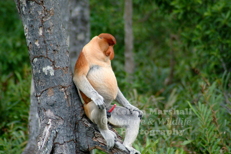 Proboscis Monkey (Borneo's big nose)
