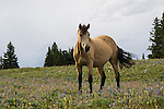 A Wild Horse looks out from where it stands in a field of wildflowers in the Pryor Mountains, Montana.