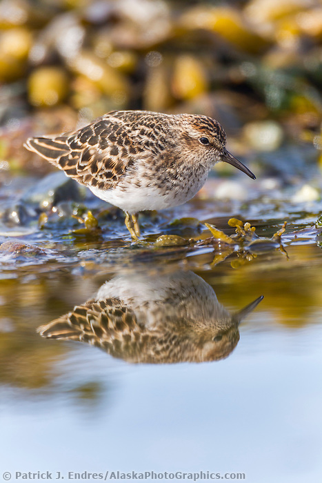 Western sandpiper wades in the water along the intertidal shore, refueling for its migration to nesting grounds. Prince William Sound, southcentral, Alaska.
