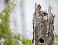 A female Northern Hawk Owl incubates her eggs in her nest in the broken top of a Quaking Aspen.