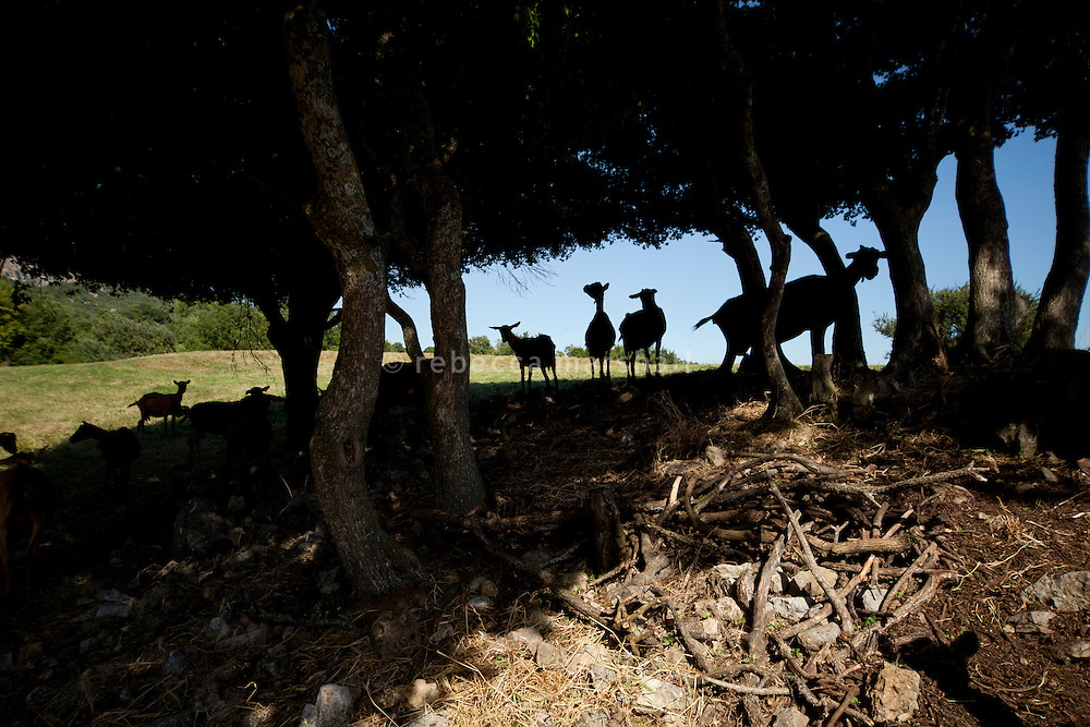 Goats seek out cool shade under a tree at La Domaine des Courmettes, above the village of Tourrettes-Sur-Loup in the Alpes Maritimes, France, 02 August 2013