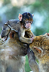 Baby Barbary Macaque sitting on head of adult macaque while preening fur of another.