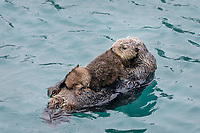 Sea Otter (Enhydra lutris) mom with very young pup in sheltered bay on Prince William Sound, Alaska.  Spring.