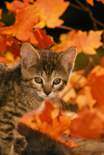 Tabby kitten in orange fall maple leaves