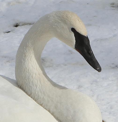 Swan Portrait, Monticello Swan