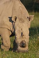 Portrait of a grazing White Rhinoceros