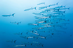 Russell Islands, Solomon Islands; a polarized school of blackfin barracuda swimming in formation in blue water