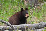 Cinnamon black bear. Yellowstone National Park, Wyoming.